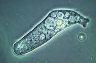 amoeba07