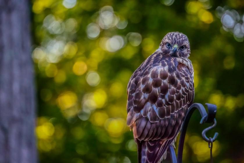 Hawk, bigger